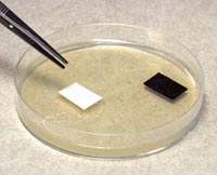 Placing sensitivity squares in a petri dish
