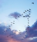 flocks of birds fly south in the shape of the letter