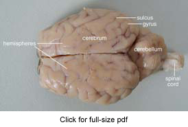 sheep brain dissection guide with pictures : sheep brain diagram - findchart.co
