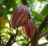 The fruit of the cacao tree contains cocoa beans inside