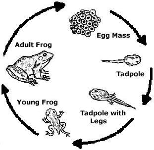 diagram of frog lifecycle