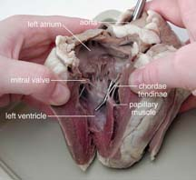 Worksheets Sheep Heart Dissection Lab sheep heart dissection guide with pictures click for full size pdf