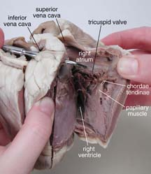 Sheep heart dissection guide with pictures click for full size pdf ccuart Image collections