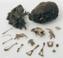 A partially dissected owl pellet