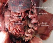 virtual fetal pig dissection guide with pictures \u0026 worksheets Fetal Pig Eye Diagram click for full size pdf