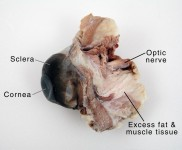 Cow Eye Dissection Guide with Pictures of Eye Anatomy